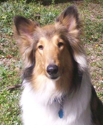 Collie Dog Breed Information And Pictures Rough And Smooth