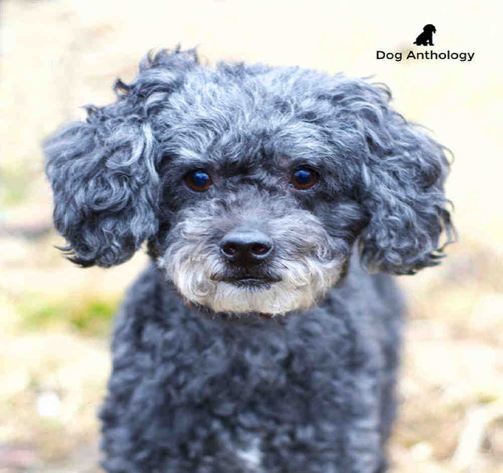 Poodle Miniature Dog For Adoption In Peoria Il Adn 444555 On