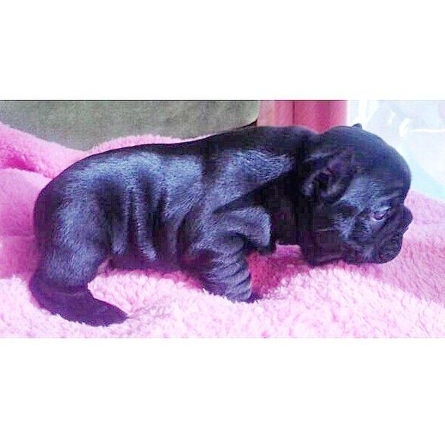 Tumblr French Bulldog Bulldog Puppies