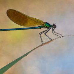 "(via 500px / Photo ""Calopteryx xanthostoma"" by Santiago M. C.)"