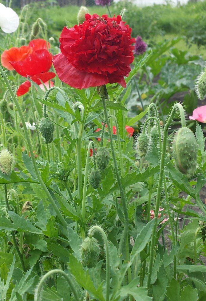 Double Shirley Poppy 2016 | Poppy art, Flowers, Perennials