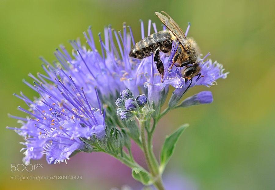 Bee by hibiskus888. @go4fotos