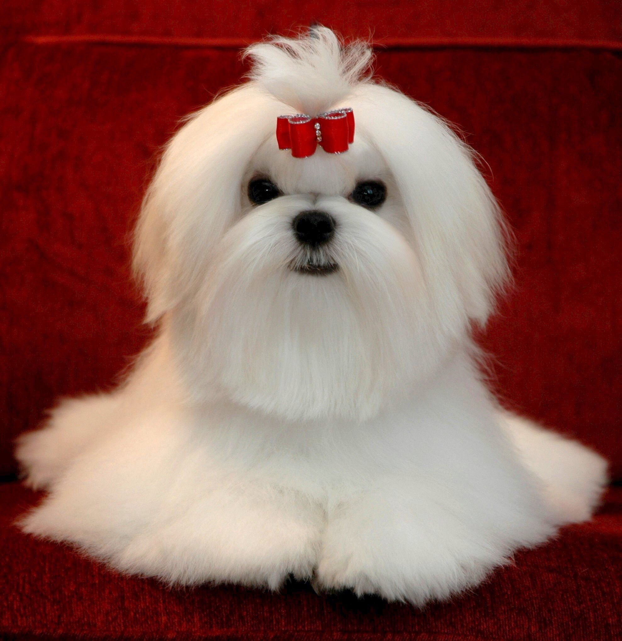 Picture Perfect Teacup Puppies Maltese