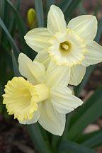 daffodil lemon glow - Google Search