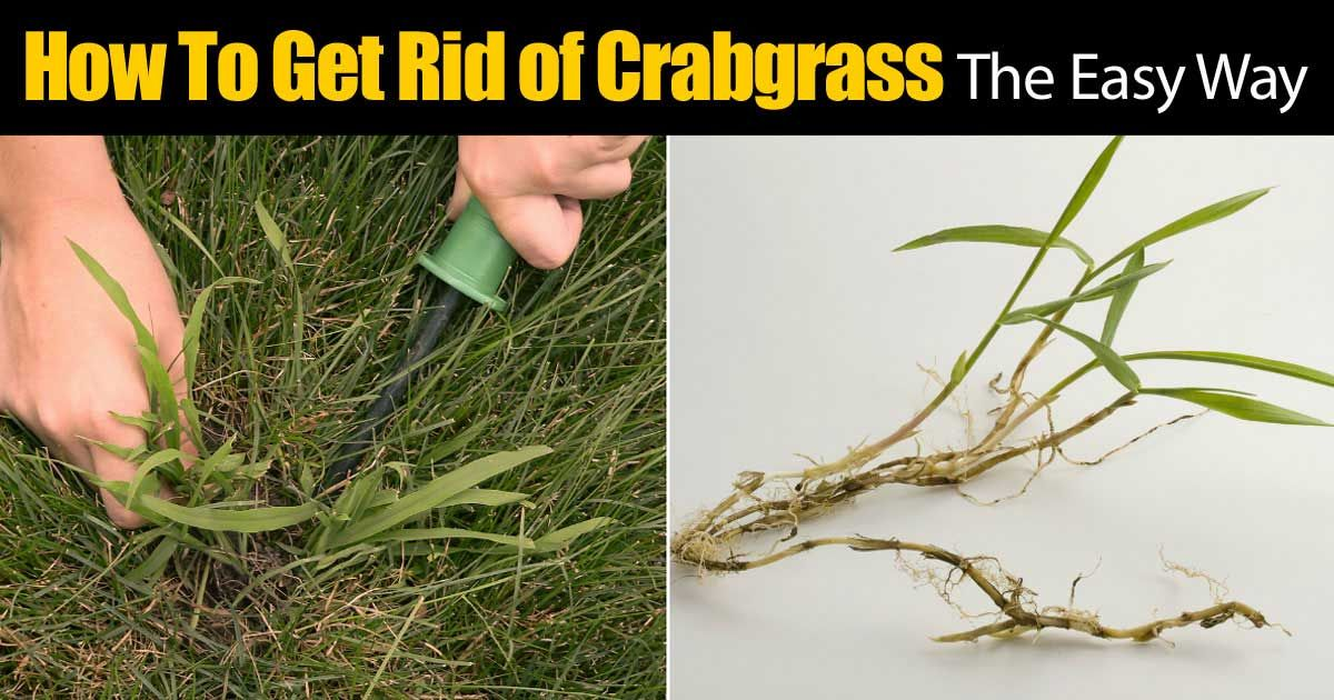 How To Get Rid Of Crabgrass The Easy Way Crab Grass Lawn And