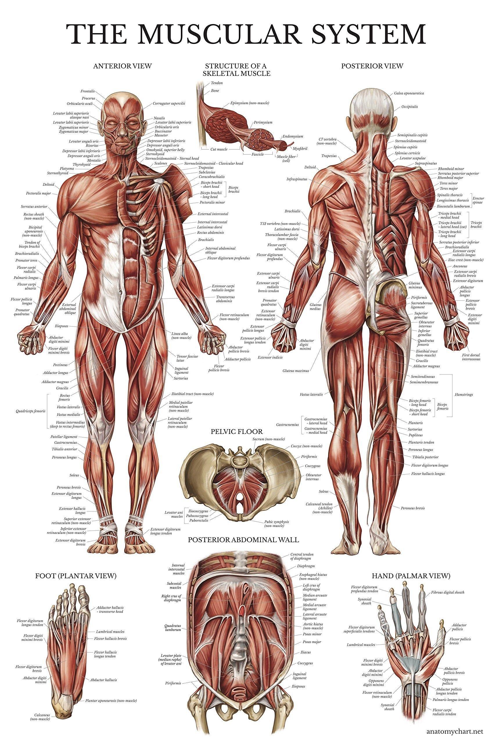 Human Anatomy Poster aesthetic posters   Human anatomy drawing ...