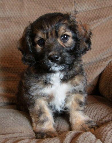 Puppies For Sale Puppies Cockapoo Puppies Cockapoo Dog