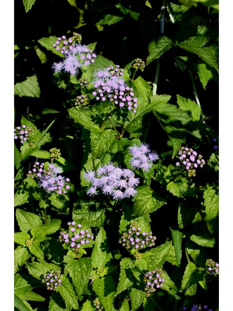 I Have A Ton Of This In My Backyard I Never Knew What It Was Conoclinium Coelestinum Blue Mistflower 3158 Plants Garden Plants How To Attract Hummingbirds