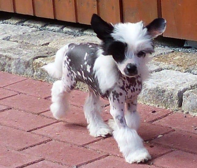 Wunderschoner Hairlesse Welpen Chinesischer Schopfhund Nackthund Schopfhund