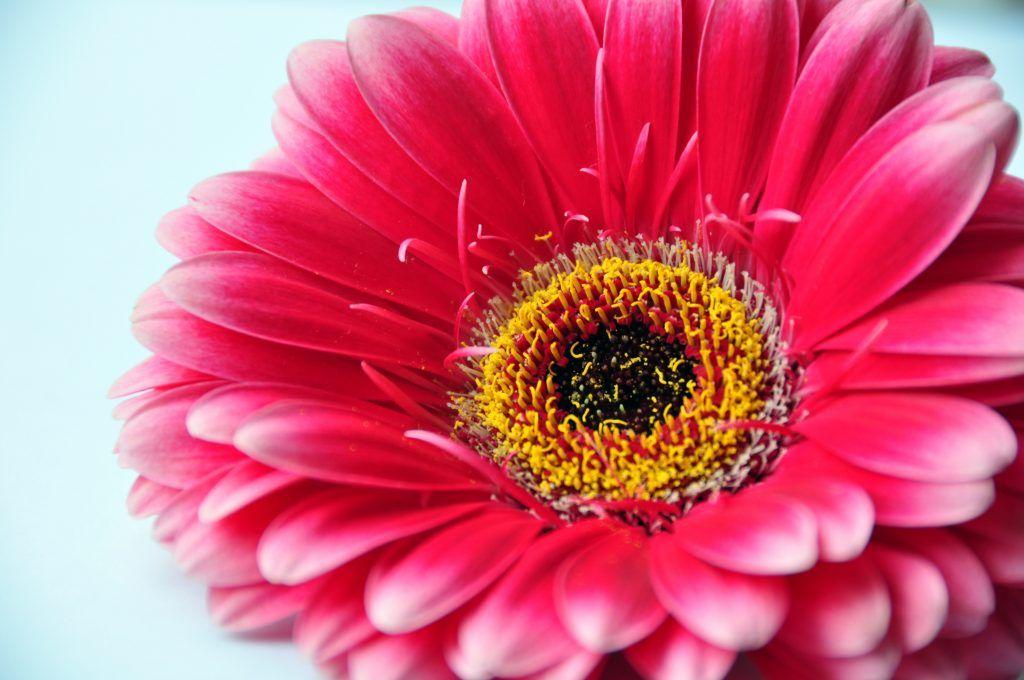 ¿Cuáles son los cuidados de la gerbera? # Si se pretende dar alegría a un jardín o a un balcón, no hay nada mejor que tener alguna que otra gerbera. La margarita africana, como también es conocida, es una planta herbácea vivaz que ... »