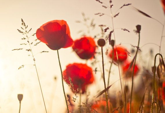 Red poppies flowers photography - warm red poppy photography, nature, floral, spring, 8x10 flowers
