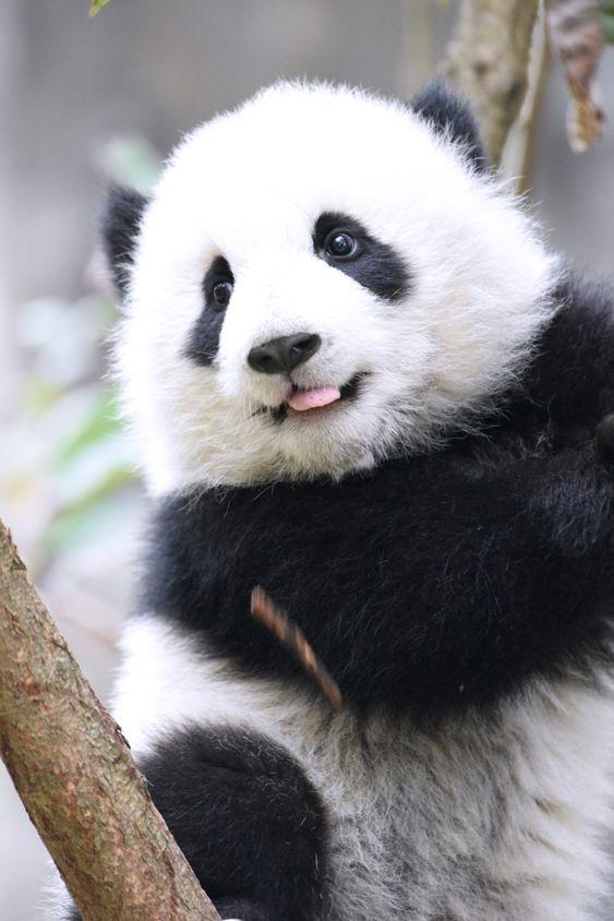 Fofura de panda ......... #pandas #pandasbebê #animaisfofo