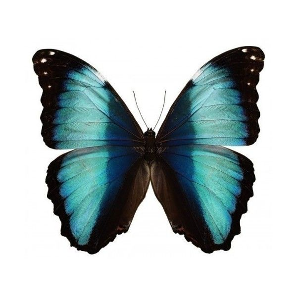 Aqua and Black Butterfly Vinyl Decal : WilsonGraphics - ArtFire... ($4) ❤ liked on Polyvore featuring butterflies, animals, fillers, backgrounds and insects
