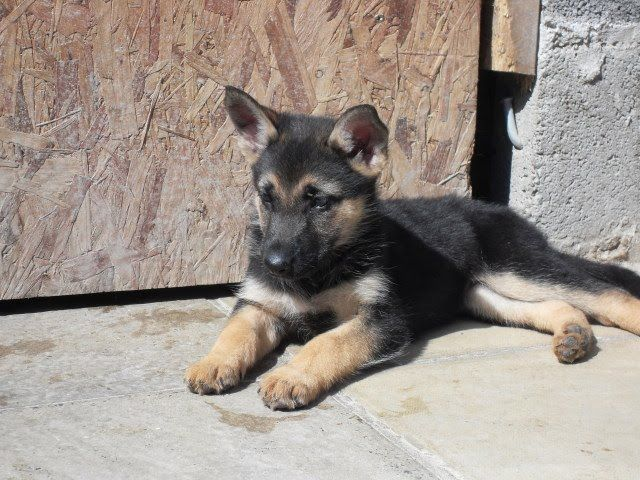 Black And Brown German Shepherd Puppy German Shepherd Puppies