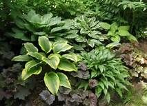 Landscaping with Hostas - Bing Images