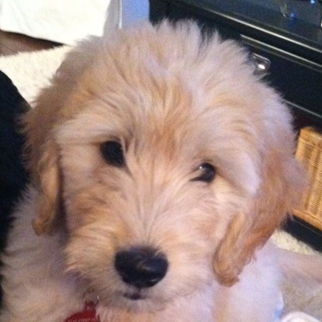 Beachbrights Sweet Golden Doodle Granger She Is From Rainfield