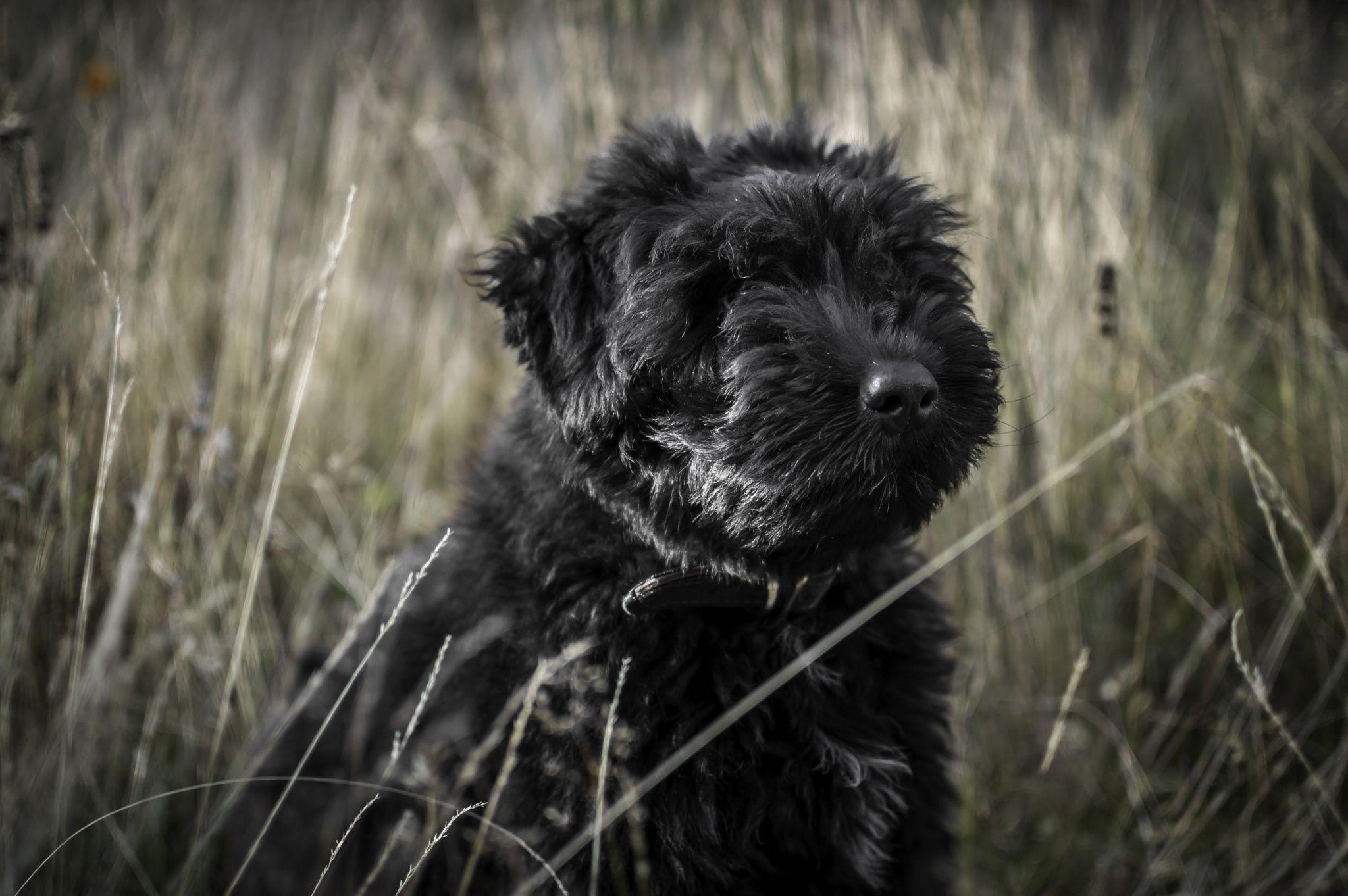 Bouvier puppy bouviers des flandres puppies flanders
