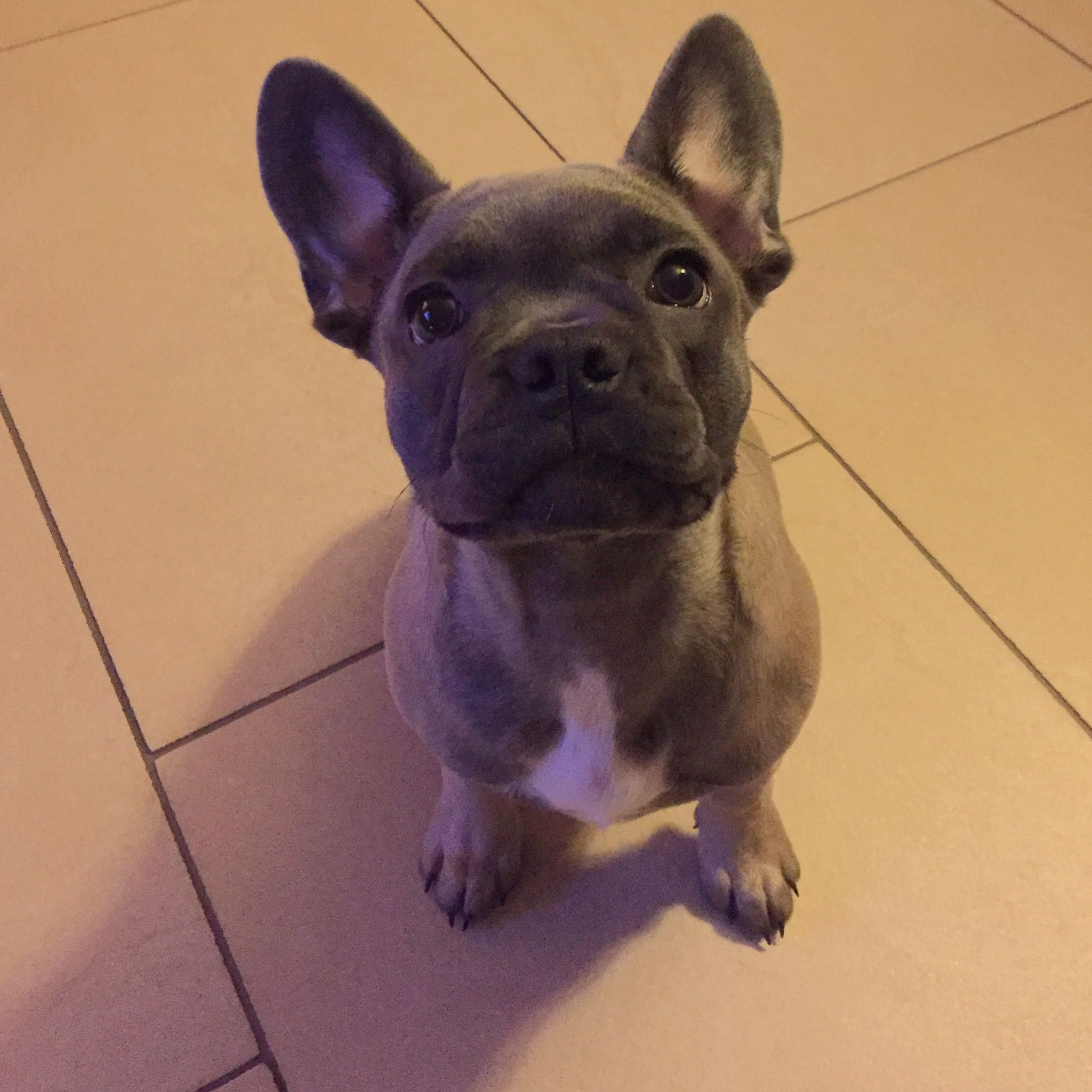 French Bulldog Puppy, Ida Französische Bulldogge