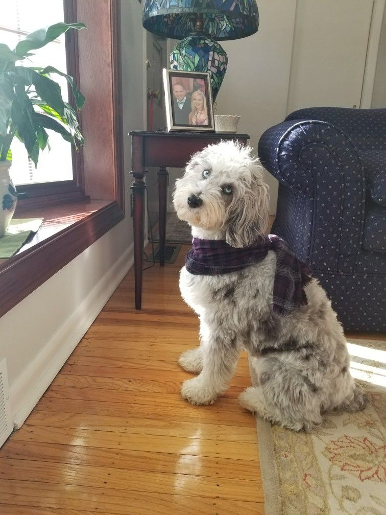 Pin by Cathy Knasiak on Aussiedoodle Cute dogs, Dog