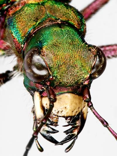 Green Tiger Beetle Closeup Cincindela Campestris Beetle Insect Macro Photography Insects Insects