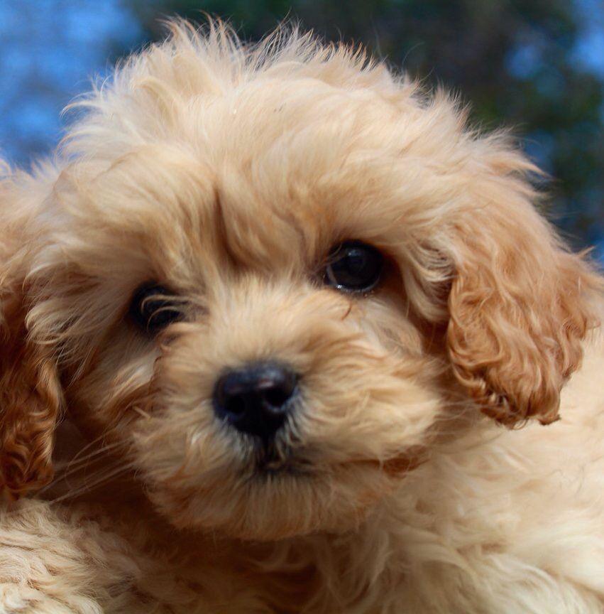 Cavapoochon puppy dogs Pinterest