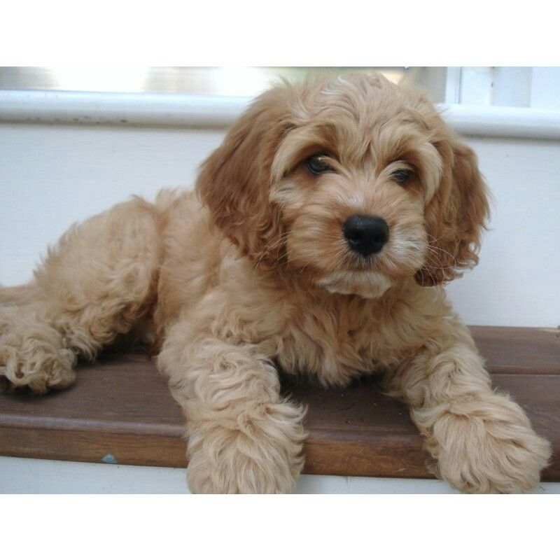 Pin by Eleanor Castillo on Dog Houses | Cockapoo puppies