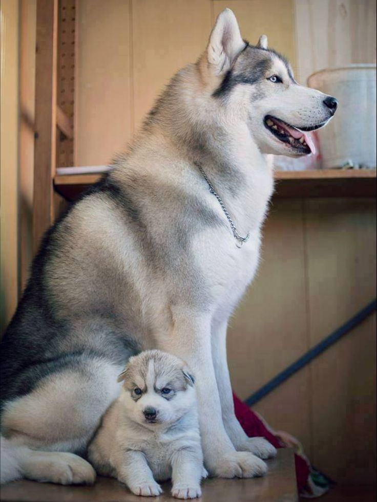 Precious Mom and Husky puppy Most beautiful dog breeds