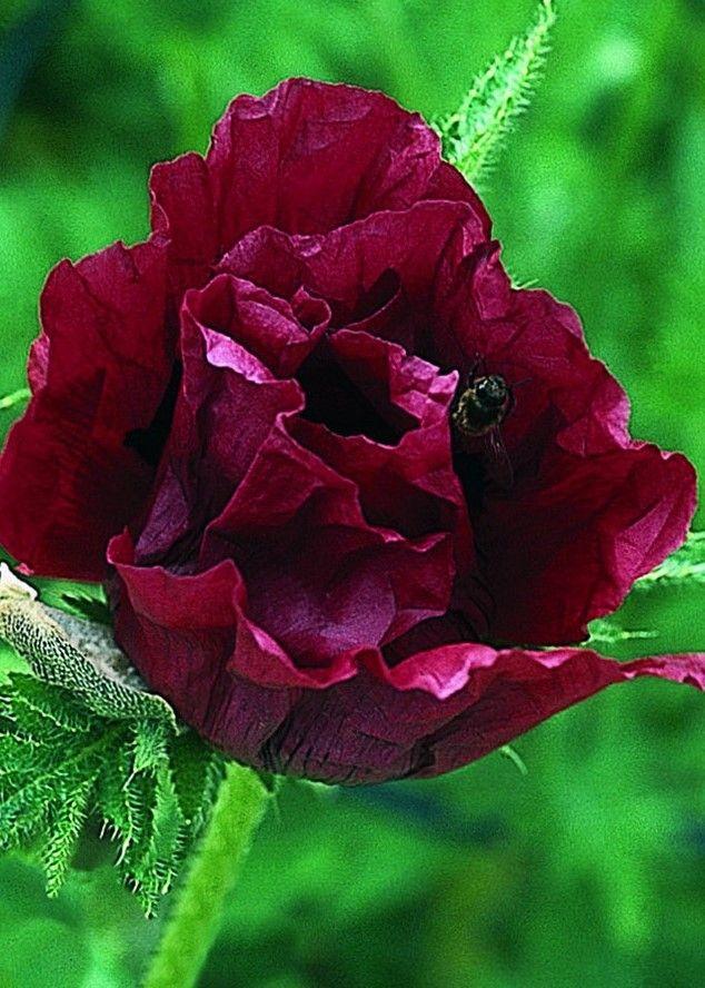 Mak Wschodni Royal Chocolate Distinction Papaver Orientale Bilscy Info Planting Poppies Papaver Poppies