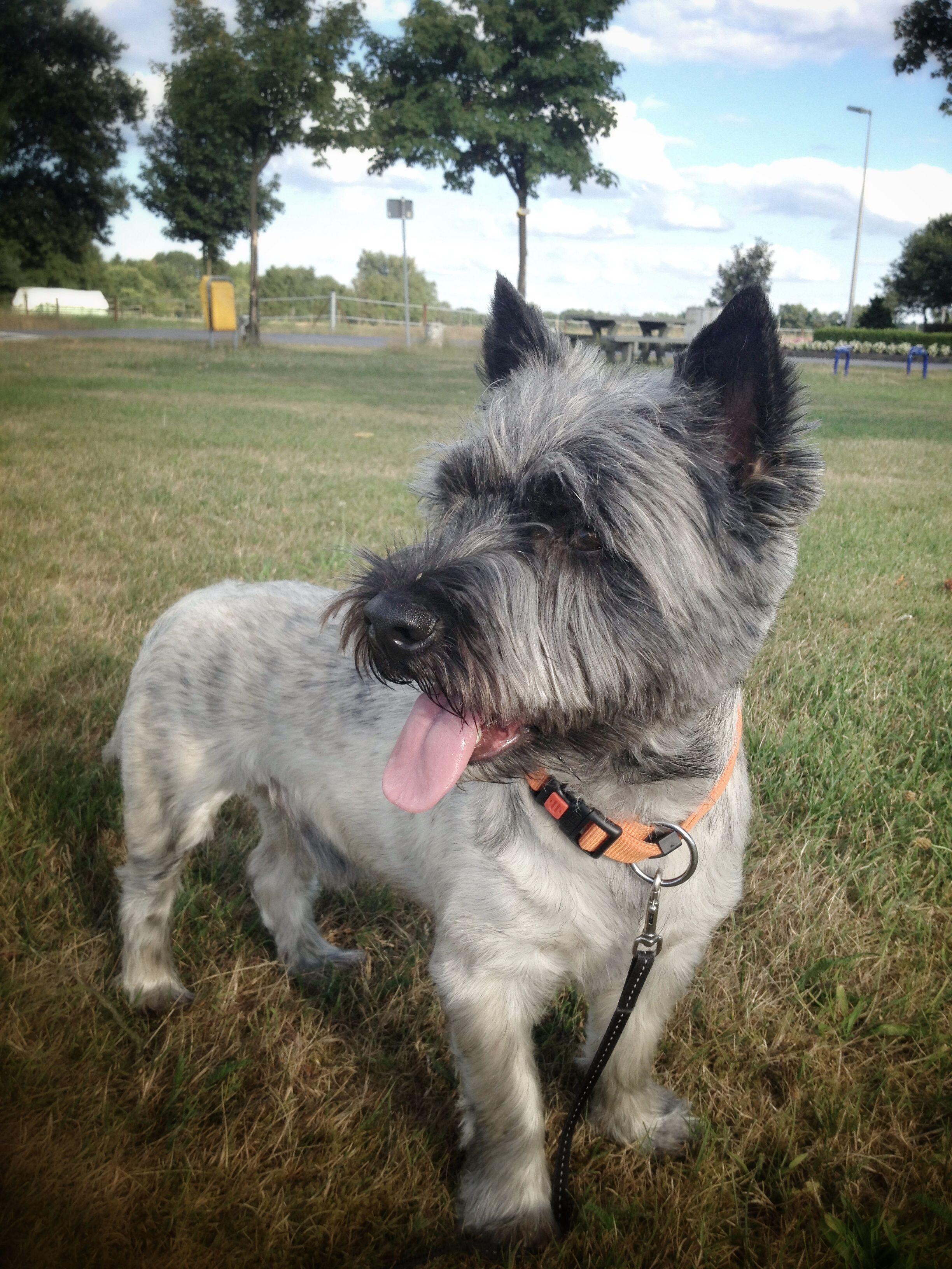 cas cairn terrier | ct❤️ | cairn terrier, dogs, terrier
