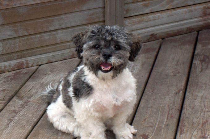 Adorable Shih Tzu Poodle Mix Shih Poo Shih Poo Shih Tzu Poodle Poodle Mix