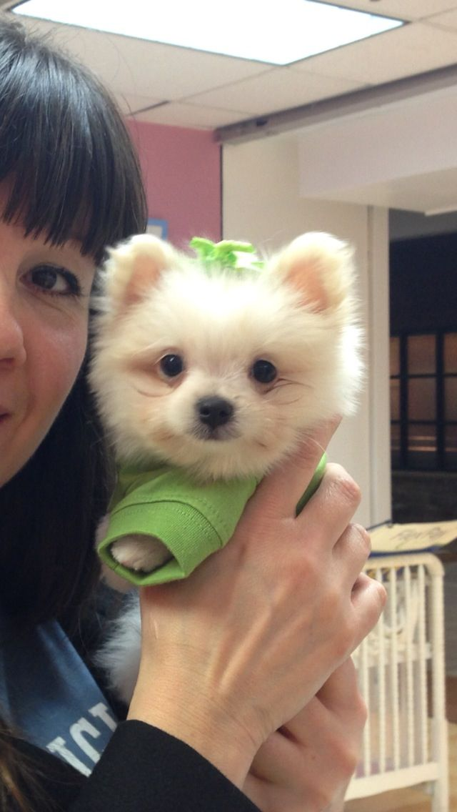 This Is Jiggi Pomerianians Maltese 2mos Old Love This One Too Cutest Dog Ever Cute Dogs Animals