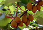 Kiwi / winterhartes frosthartes Obst Garten Pflanze Staude Strauch Stecklinge Garten & Terrasse #kletterpflanzenwinterhart