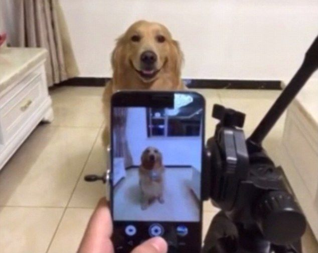 Dior The Golden Retriever Smiles For The Camera On Command Animal