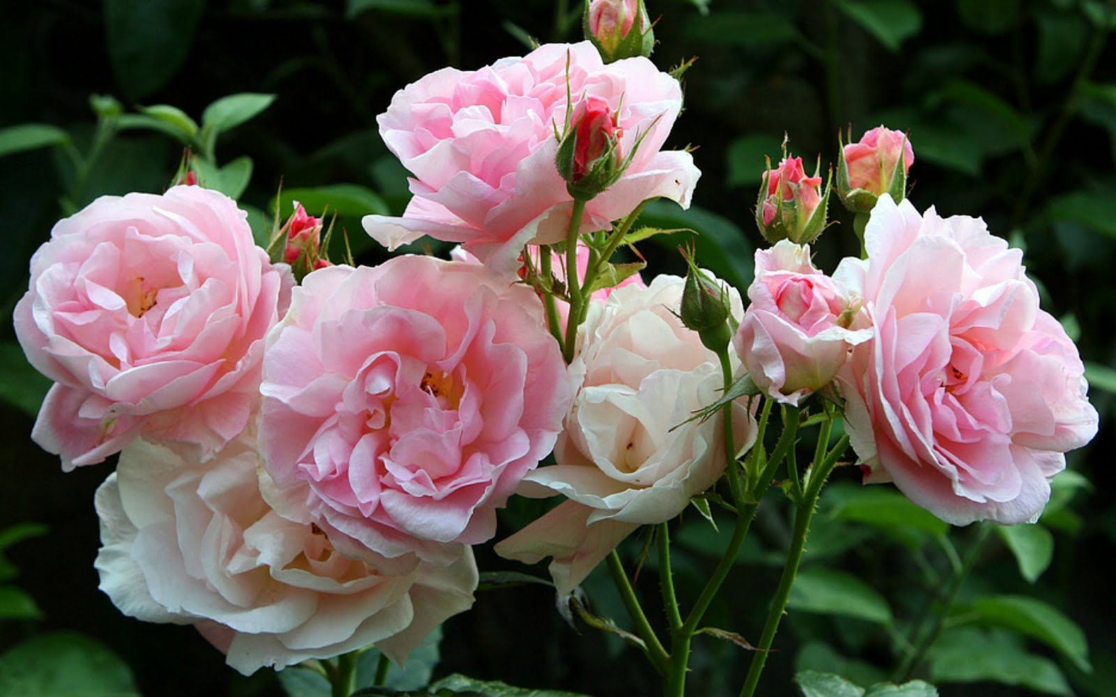 Pink summer flowers pink summer roses flowers nature pink free file sharing and storage pink summer flowers pink summer roses flowers nature pink roses summer izmirmasajfo