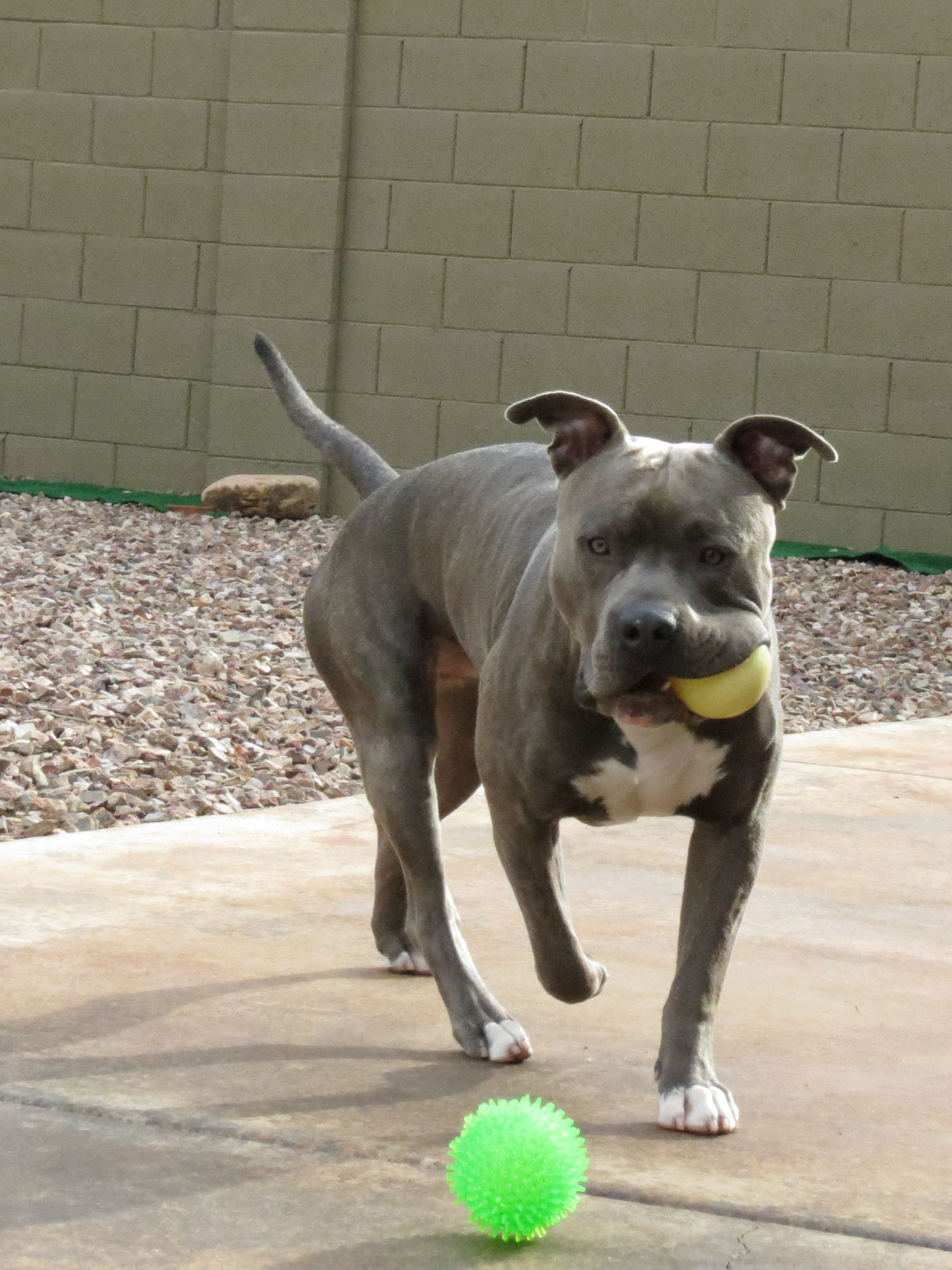 Knight Sabre The Thunderfoot 1 Year Abpt Amstaff Mix Blue