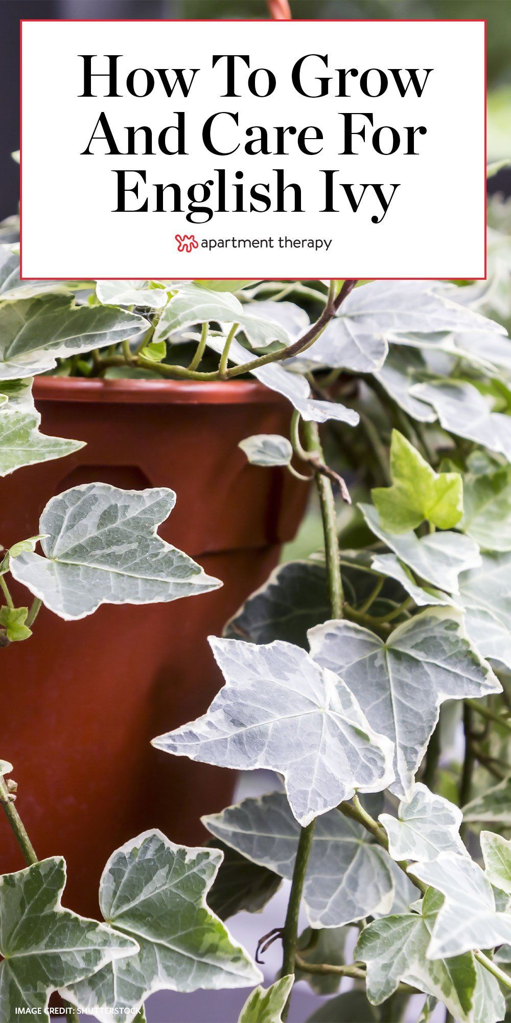 Lush & lively English Ivy is a low-maintenance plant parent's dream. Here's how to grow and care for it. #englishivy #englishivycare #englishivytips #ivy #ivyplants #ivycare #ivytips #planttips #houseplants #hangingplants #lowmaintenanceplants