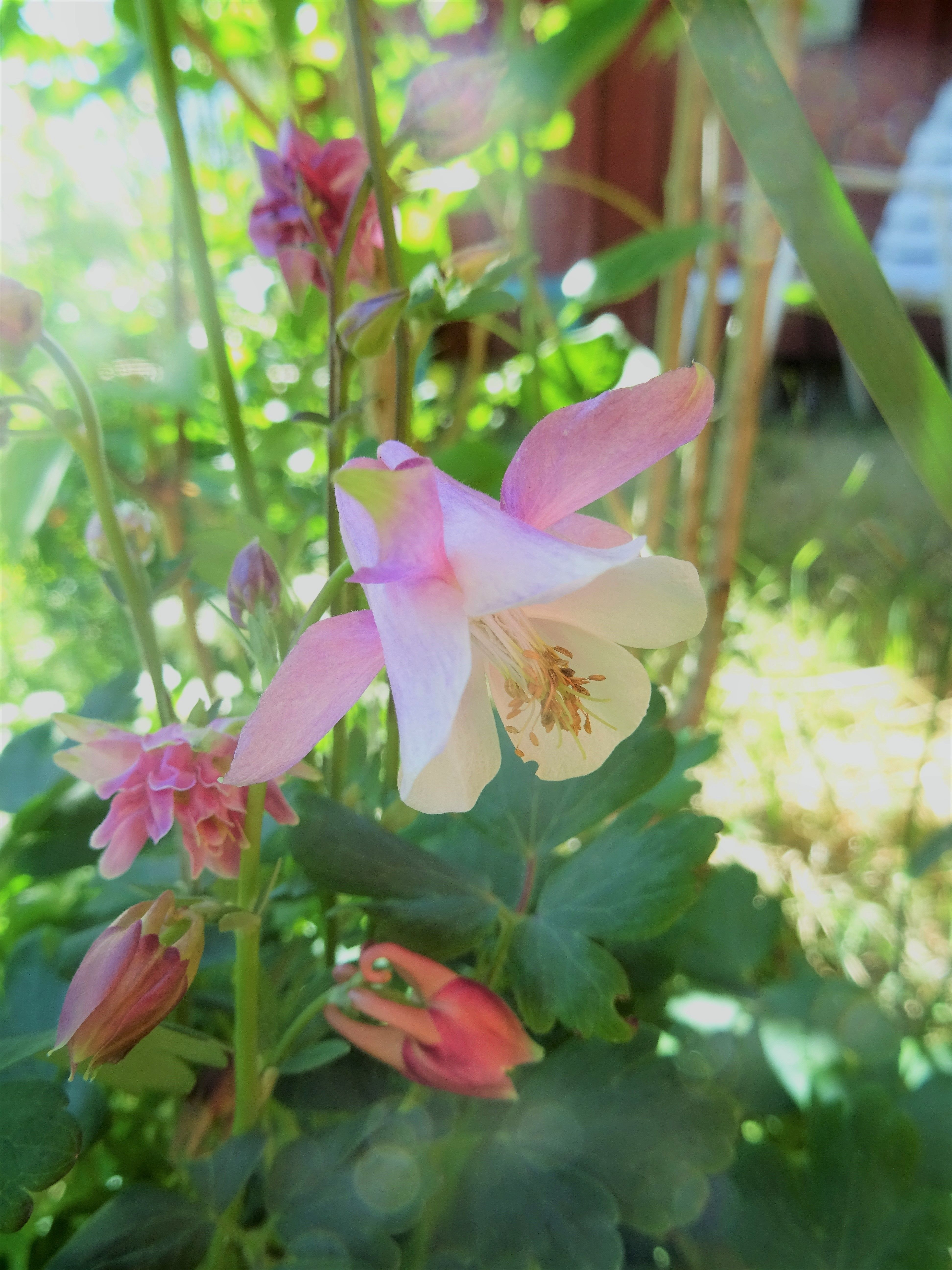 Aquilegia A Low Growing Specimen With Red Buds But Pale Pink And
