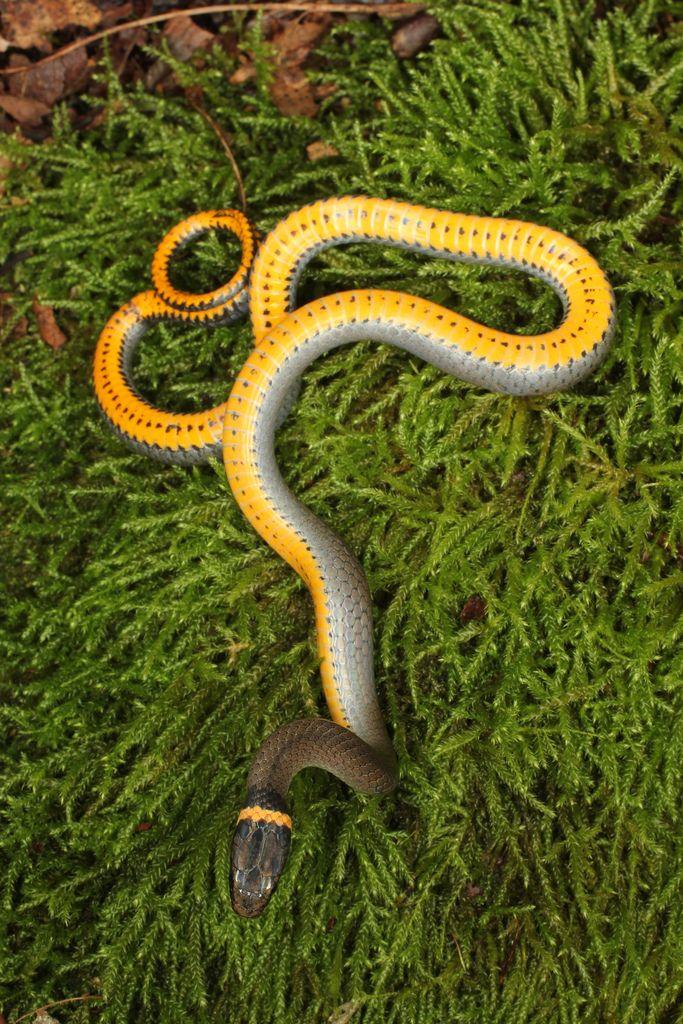 Northern Ringneck Snake Snake, Pet snake, Reptiles