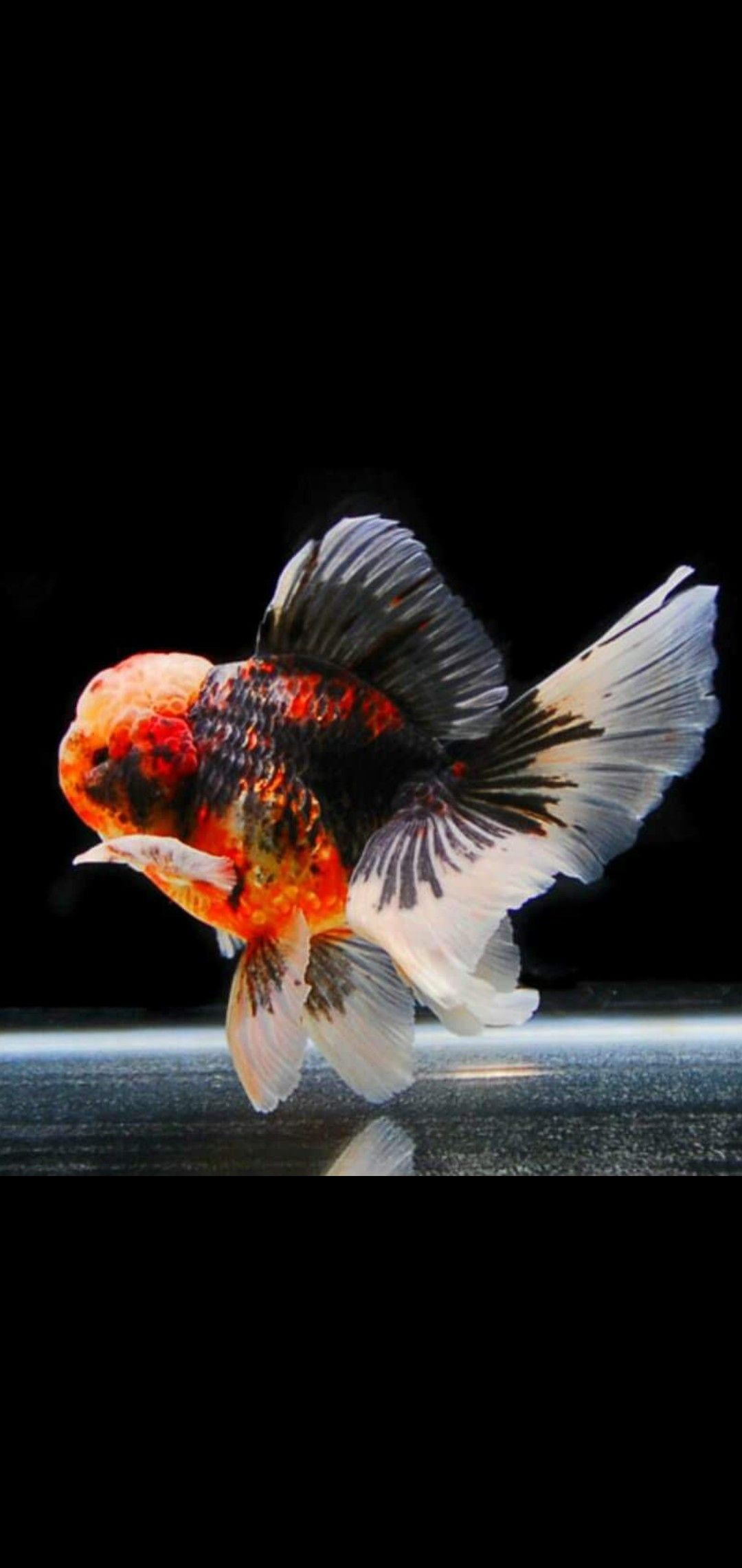 Very Nice Oranda Goldfish Oranda Goldfish Goldfish Goldfish Types