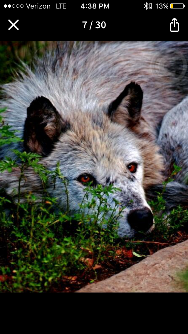 Pin Von Hayley Samulski Auf Wattpad Wolf Hunde Wilde Tiere Tiere