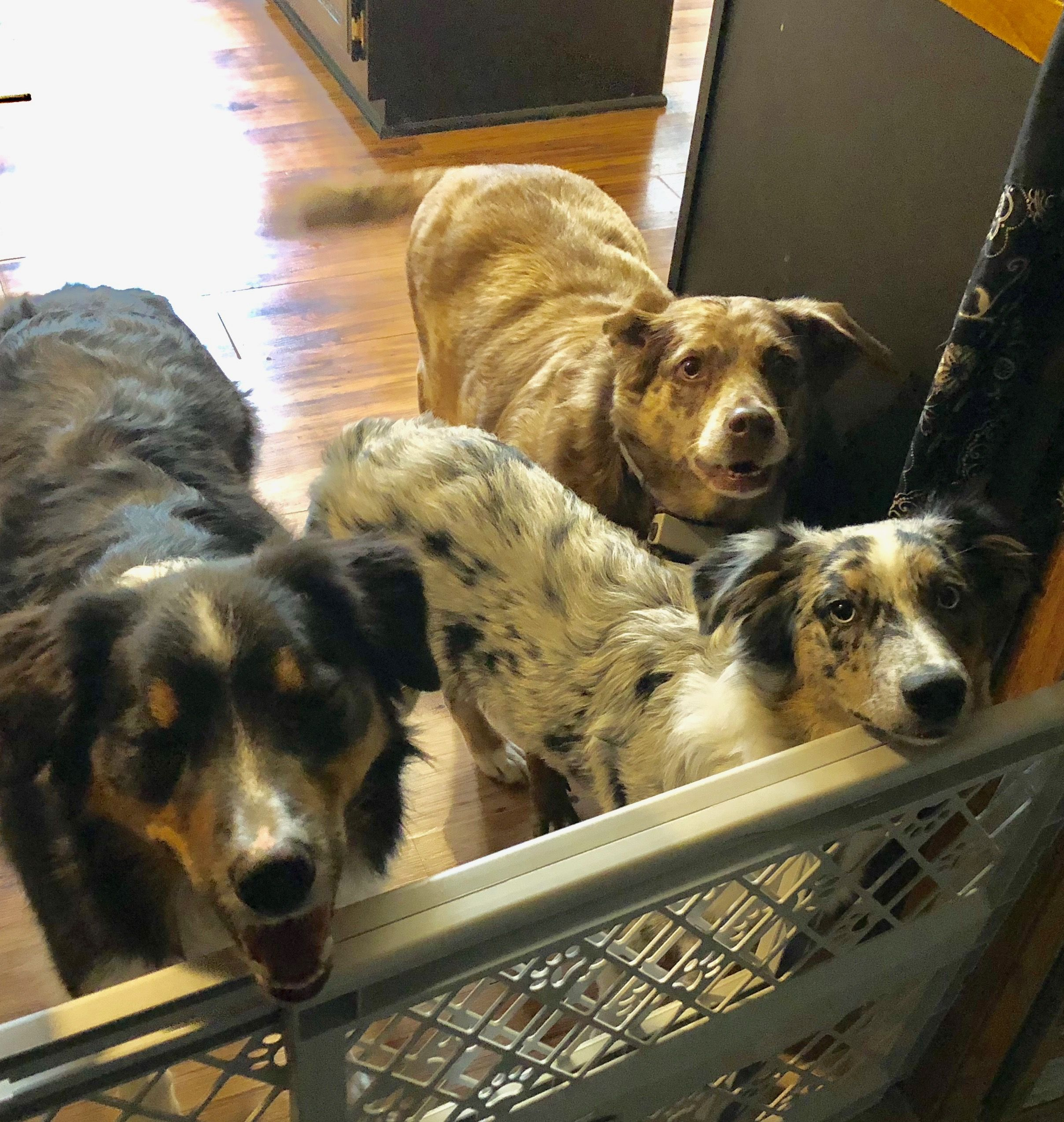 Our happy Australian Shepherd's from left to right/ Gatsby