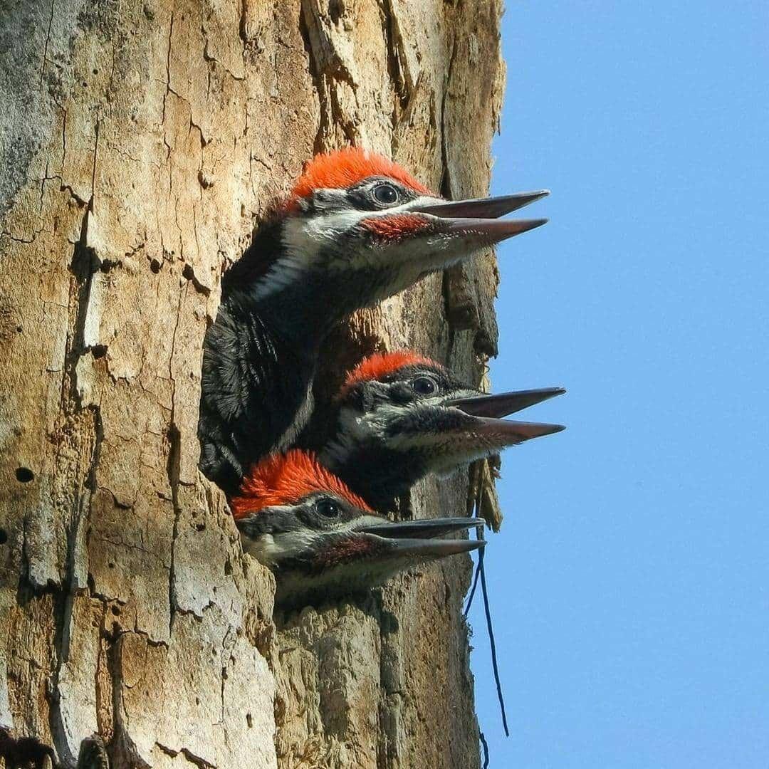 فروخ نقار الخشب ذي العرف يطلون برؤوسهم من مدخل العش حماس ا لاقتراب أحد والديهم محمل ا بما لذ وطاب يعد من أكبر أنواع نقار Bird Photography Woodpecker Bird