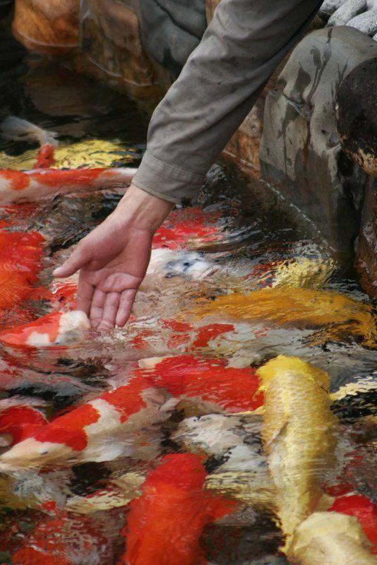 Koi pond in hong kong hopefully someday mine let me touch for Koi pond quezon city