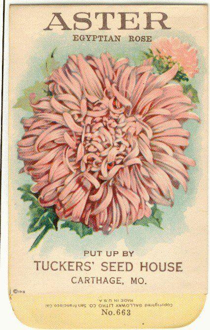 Aster Vintage seed packet