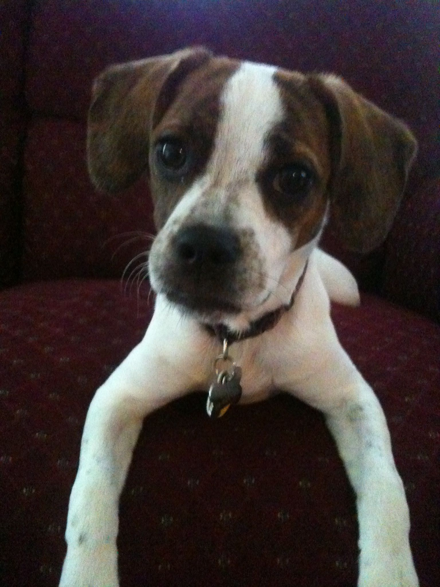 Boggle Dog Boxer Beagle Mix Dog Breed Info Mixed Breed Puppies