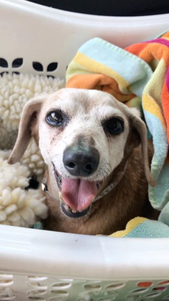 Dachshund dog for Adoption in Weston, FL. ADN455713 on