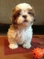 Adopt Ollie On Shih Tzu Dog Shih Tzu Puppy Puppies