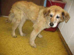 A923982 Kern Shelter Urgent Is An Adoptable Golden Retriever Dog