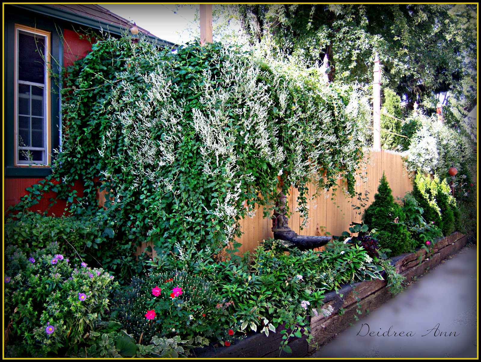 Silver lace vine grows anywhere May have to try this at the