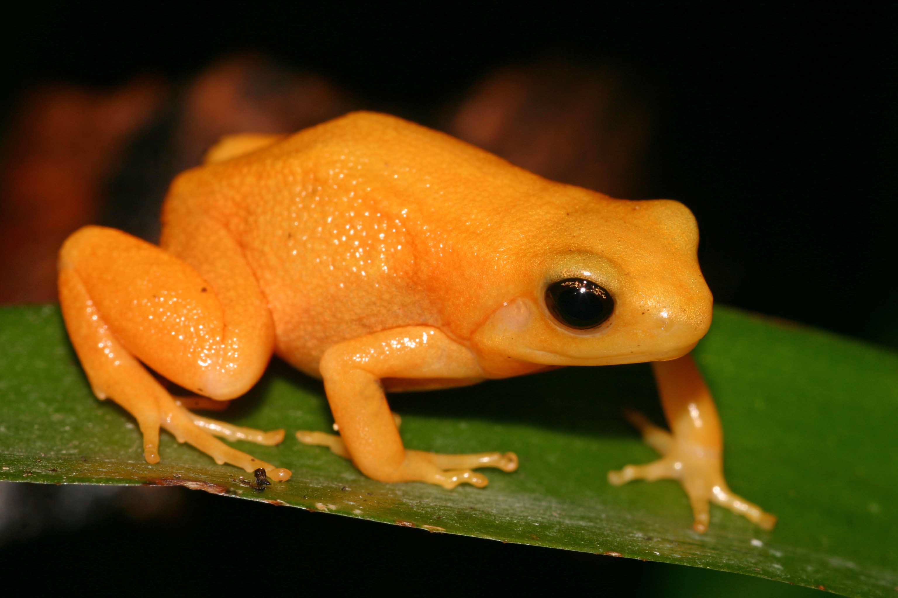 Poisonous frogs names Google Search Frog, Small frog